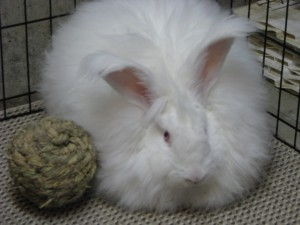 german angora rabbit with chew toy