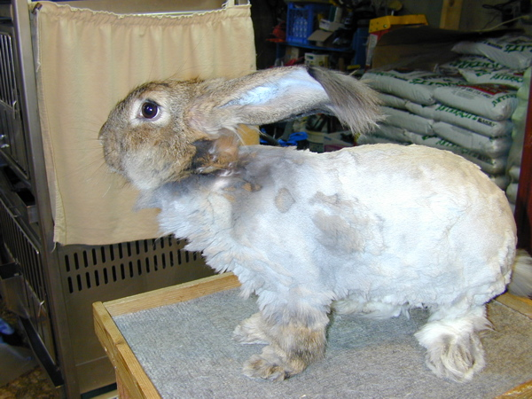 sheared german french angora bunny